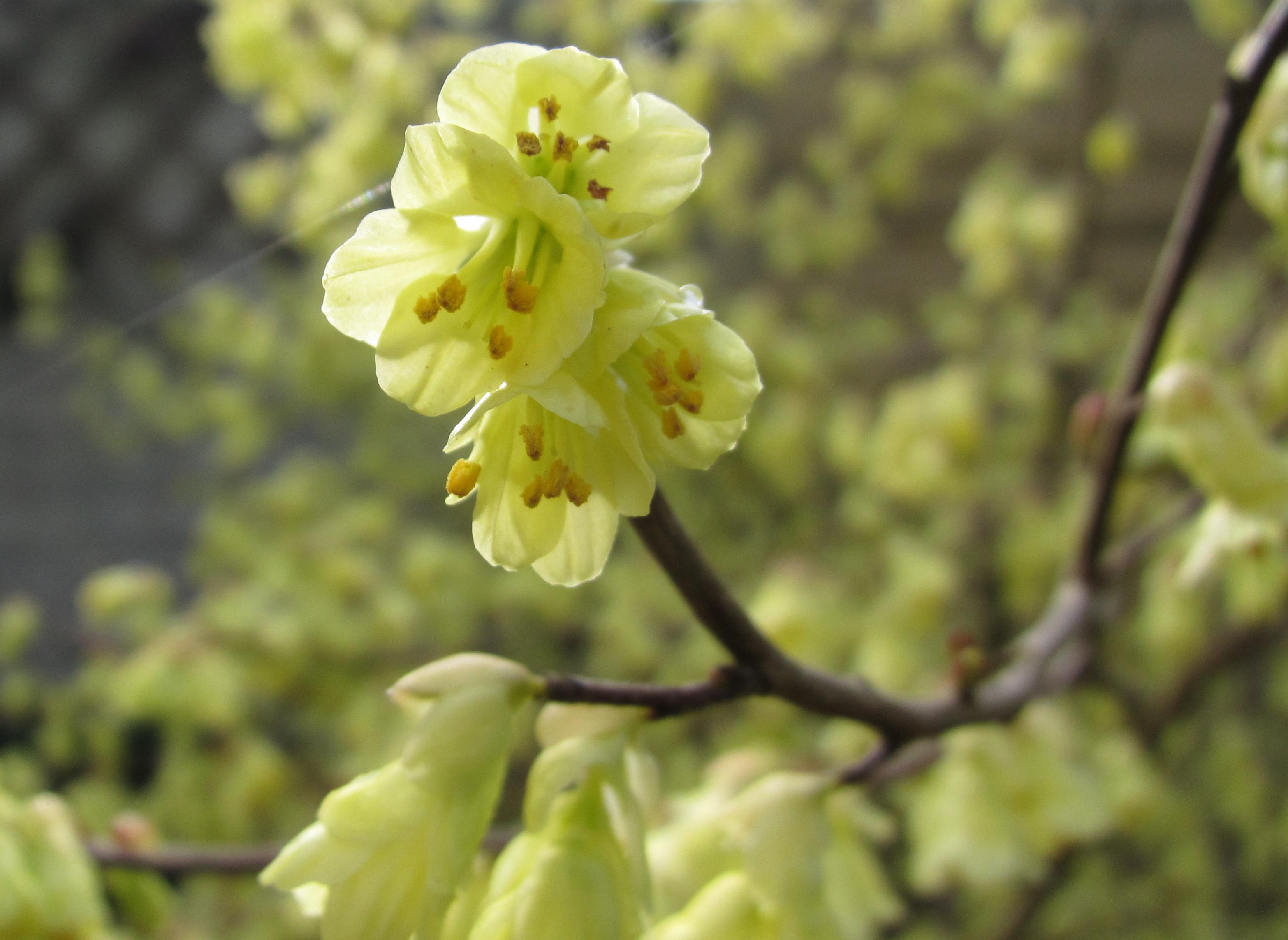 Tas Voorjaar 2015 : Voorjaar kadosate